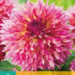 Dahlie Fimbriata Myrtle's Folly - Dinnerplate Dahlia