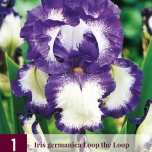 Deutsche Schwertlilie Iris germanica -Going My Way-