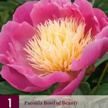 Pfingstrose Bowl of Beauty - Paeonia