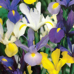 Iris Hollandica